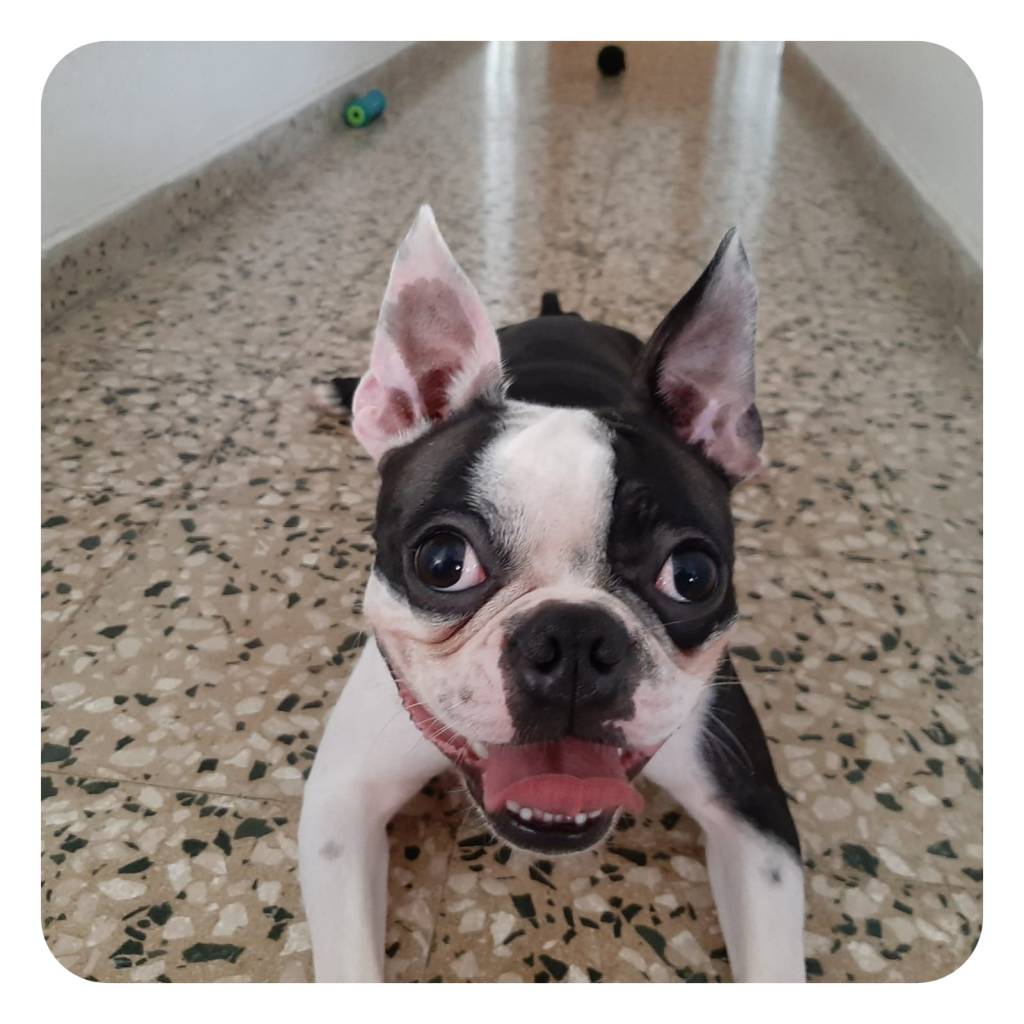 Boston-terrier-Jackson-11-meses
